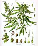 500px-Cannabis_sativa_Koehler_drawing.jpg