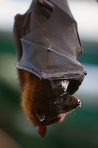Bat, Flickr, longhorndave.