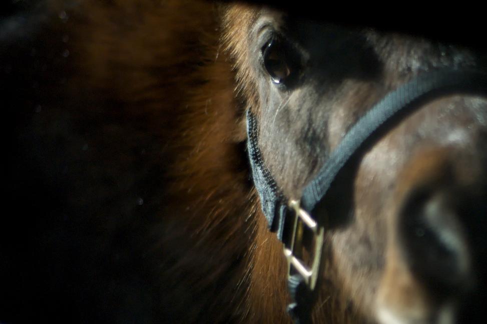 Dark horse in the barn, Flickr, pmarkham