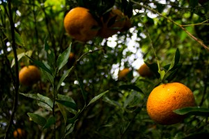 Naranjas - (Fotografía J. P. A.)