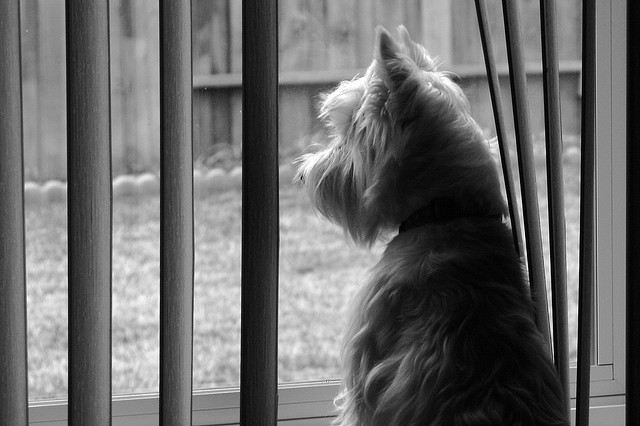 Wee Westie Longing for Squirrel Dinner, Flickr, Randy Son of Robert