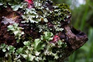 Naturaleya caprichosa (Fotograf¡ia: Javier Polanco A.)