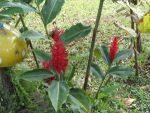 Flores-de-la-finca-julio-de-2012-007-300x225.jpg