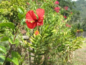 Cayeno, (Hibiscus rosa-sinensis). - Fotografía: E.P.M.