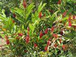 Ginger-rojo.-Familia-Heliconias.-300x225.jpg