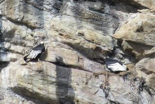 48 Condores anidando-738835