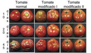 Comparación entre tomates normale sy tomates modificados genéticamente para tener una vida más larga.
