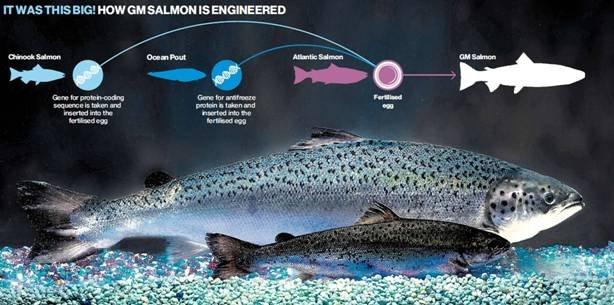 el salmón transgénico ya puede cultivarse y consumirse en Canadá.