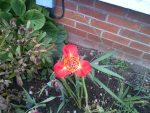 La flor de la maravilla