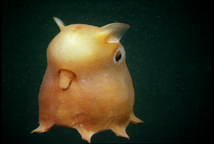 "Grimpoteuthis - A ""Dumbo Octopus"""