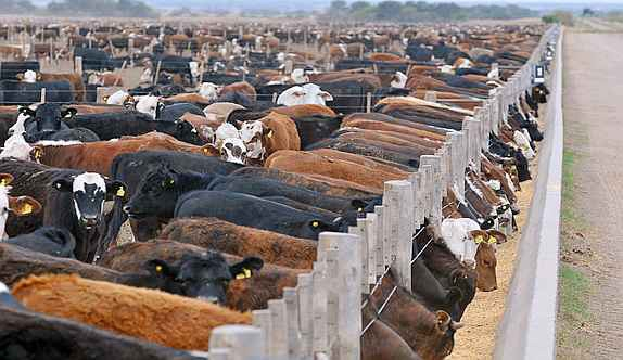 Las funestas ciudades de vacas. Ganadería intensiva