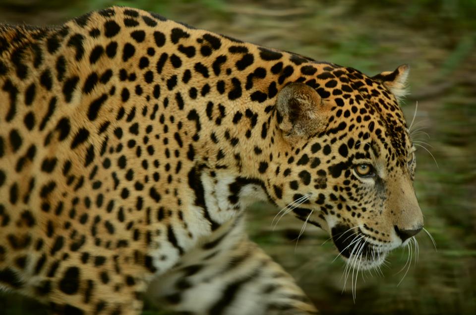 El parque Madidi tiene una poblacion de 300 jaguares