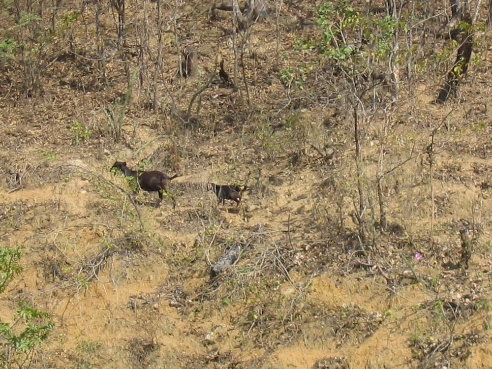 La ganadería es una de las principales actividades que atentan contra la existencia de los bosques secos andinos de Perú. Foto: Reynaldo Linares-Palomino.