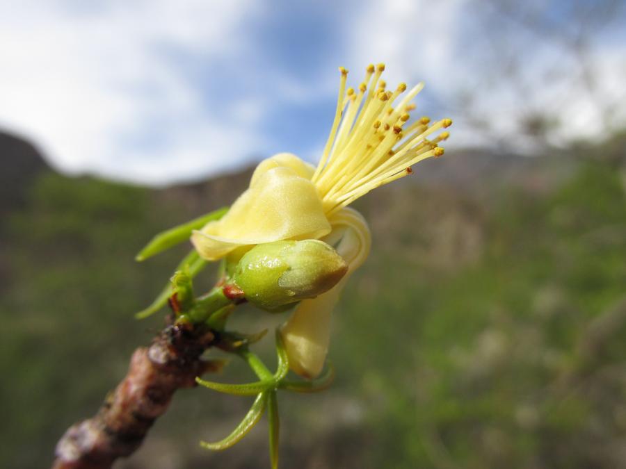 Eriotheca vargasii, árbol endémico y característico de los bosques secos del sistema Apurimac. Foto: Reynaldo Linares-Palomino.