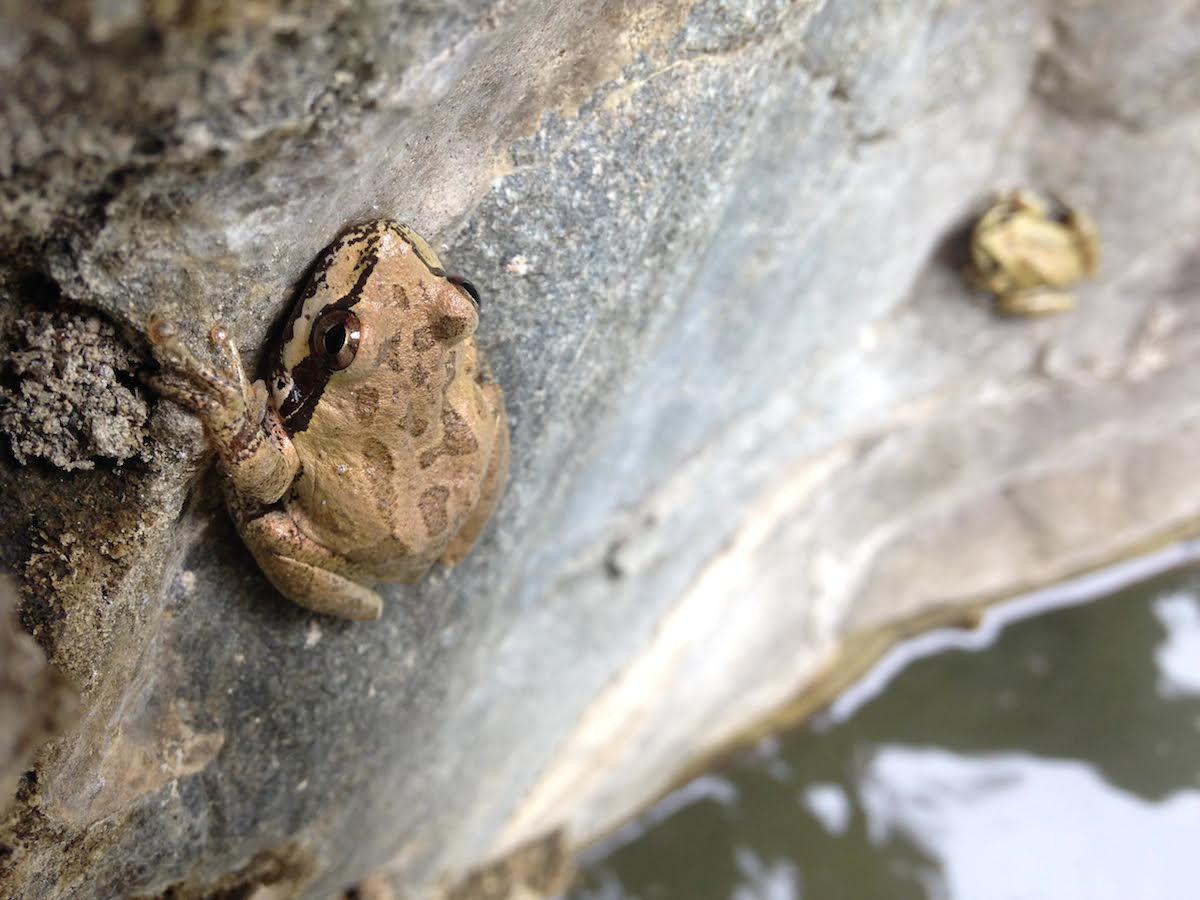 La rana arborícola de Baja California (Pseudacris hypochondriaca) en Sierra la Laguna. Fotografía de Michael Bogan.