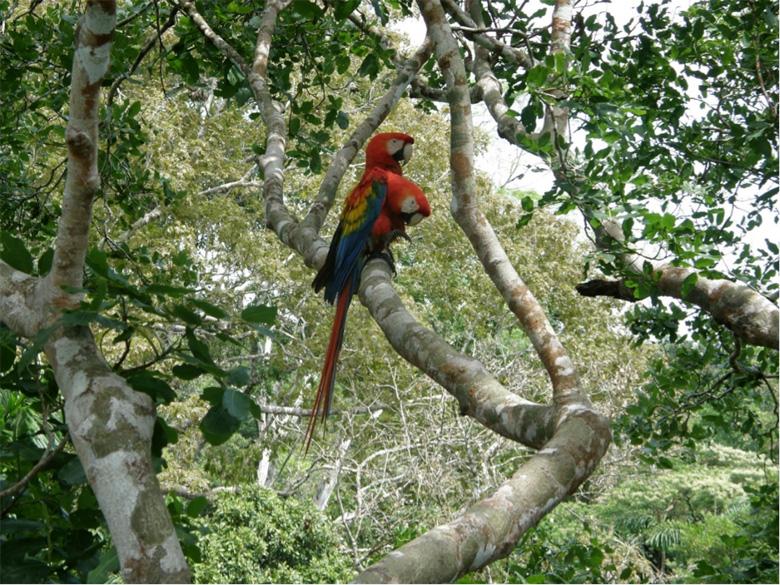 Los guacamayos macao (Ara Macao) son aves longevas de gran tamaño que anidan en árboles de la selva tropical. Foto de George Olah.