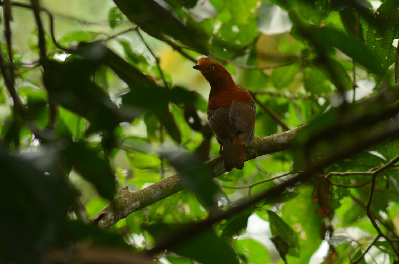 Gallo de la peña andino (Rupicola peruana). Se han observado 295 especies de aves hasta el momento, pero se estima que estas superan las 400 especies dentro de la reserva. Foto: Yntze van der Hoek.