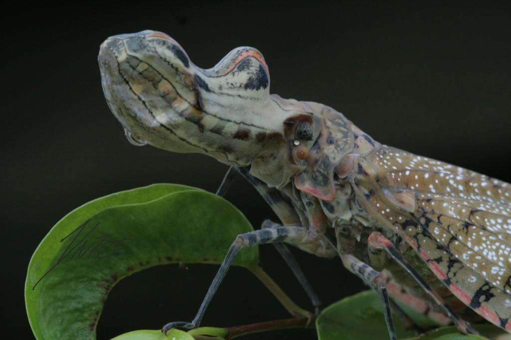 La reserva biológica Colonso Chalupas alberga una infinidad de insectos y este machaca (Fulgora laternaria) es uno de ellos. Foto: Yntze van der Hoek.