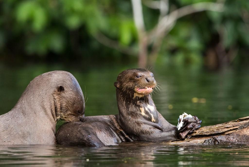 48 individuos fueron registrados en un tramo del río Heath, dentro del Parque Nacional Bahuaja Sonene. Foto: Daniel Resengren/Sociedad Zoológica de Fráncfort – Perú.