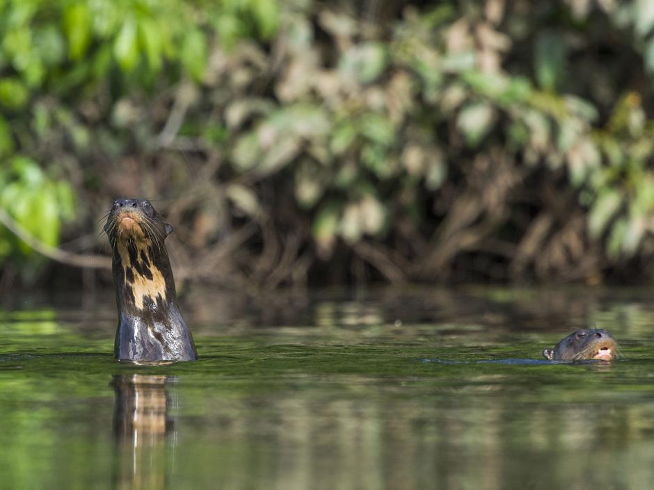 Los lobos de río son una especie que tiene una característica que hace más sencilla su identificación: la mancha gular. Todos los lobos de río tienen una mancha de este tipo en el cuello y es única. Foto: Daniel Resengren/Sociedad Zoológica de Fráncfort – Perú.