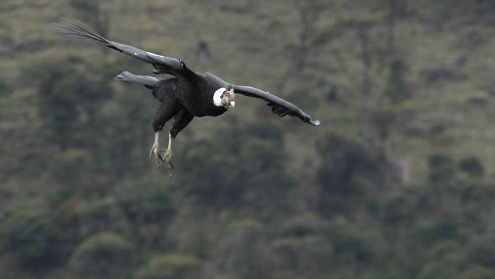 Cóndor de los Andes especie en peligro de extinción en Colombia. Foto: Cortesía de Magia Salvaje/ Grupo Éxito.