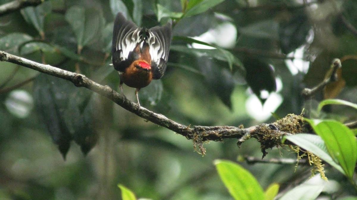 Saltarín Alitorcido (Machaeropterus deliciosus. Foto: Cortesía de Magia Salvaje/ Grupo Éxito.