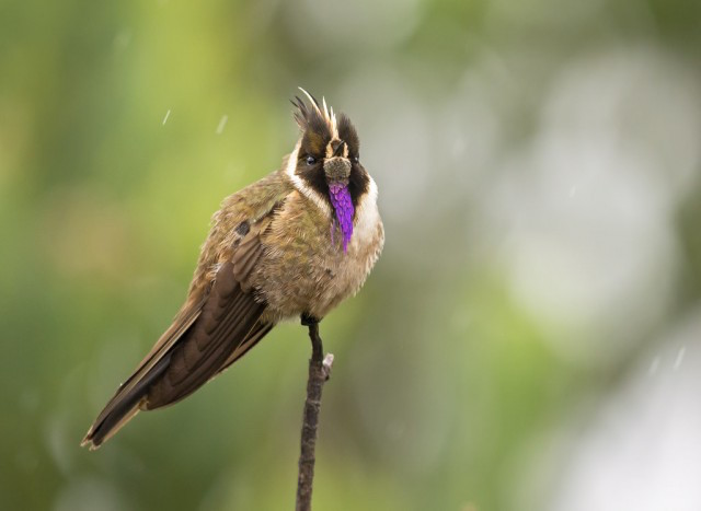 Colibrí barbudito (Paramuno Oxypogon ). Foto: Juan José Arango.