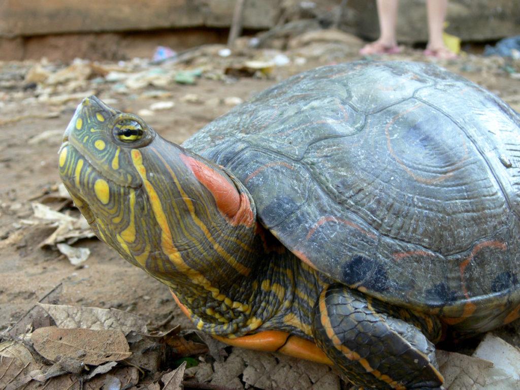 La hicotea y la tortuga morrocoy están catalogadas en estado de conservación Vulnerable, según la Unión Internacional para la Conservación de la Naturaleza (UICN). Foto: Cortesía Universidad Nacional de Colombia.