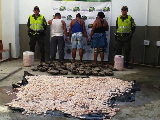 Decomiso de 50 000 huevos de Iguana. Foto: Cortesía de la Policía de Bolívar.