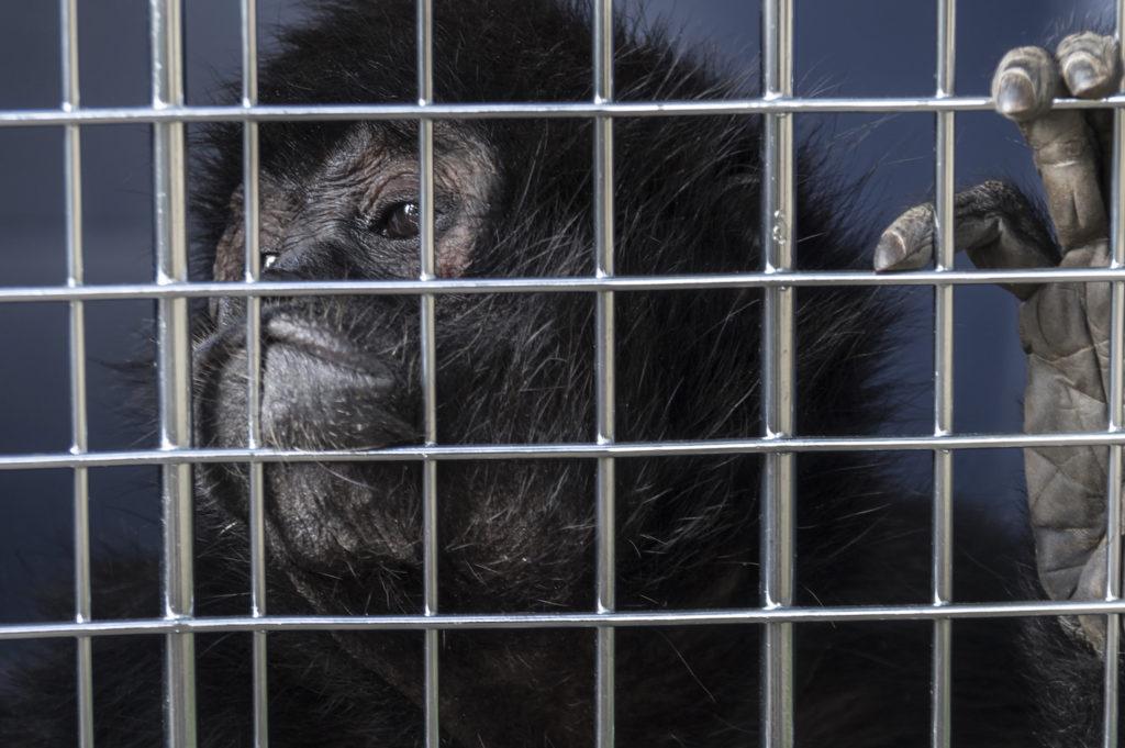 Mono araña decomisado en operativo de la CAR Cundinamarca. Foto: Diego Tellez.