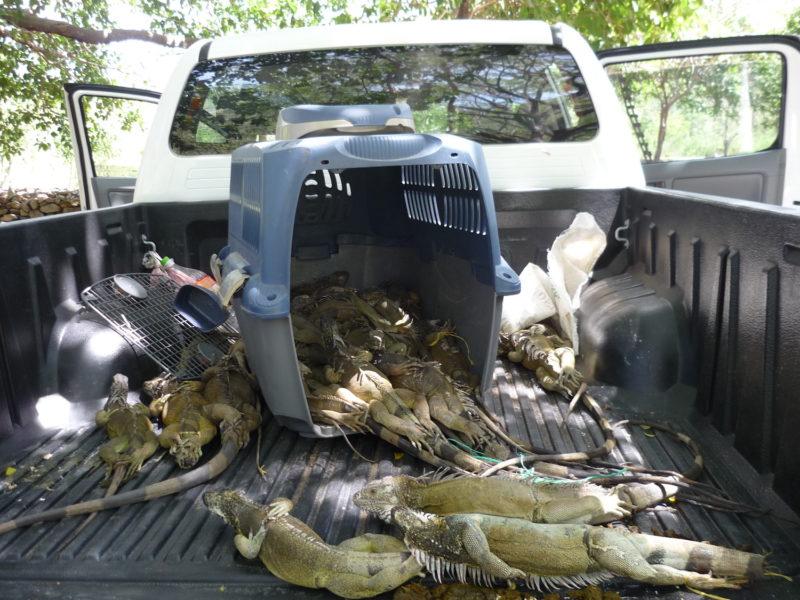 Tráfico de Iguanas en el departamento de Cesar. Foto: Alberto Castaño.