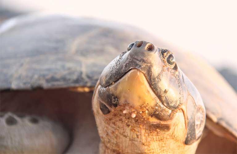 La tortuga arraú (Podocnemis expansa) es la especie más grande de tortuga de agua dulce neotropical y se encuentra en toda la cuenca del Amazonas. Después de años de sobreexplotación, esta especie se está recuperando gracias a las iniciativas de conservación. Foto: Cortesía de Camila Ferrara