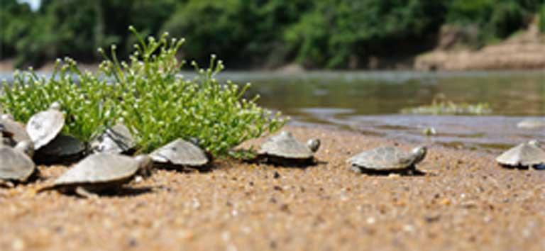 Tortugas jóvenes se dirigen al río. Décadas de trabajo significaron que la tortuga arraú ya no está En peligro de extinción, pero la caza furtiva continúa siendo una amenaza importante para la especie. Foto: Cortesía de Luiz Baptista.