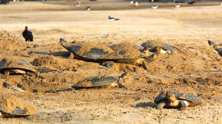 Tortugas arraú se trasladan en masa hacia las playas de anidación en orillas de ríos y en bancos de arena. Esta conducta las hace especialmente vulnerables a la caza de carne y de huevos de tortuga. Foto: Cortesía de Camila Ferrara