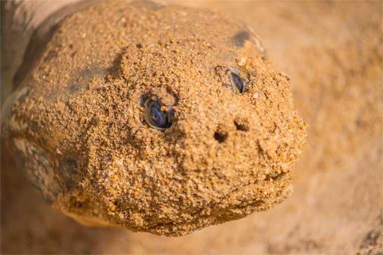 La cabeza de una tortuga cubierta de arena después de la excavación del nido. Las tortugas amazónicas están en peligro debido a la caza furtiva, las represas hidroeléctricas a lo largo y ancho de la Amazonía y la contaminación de mercurio por la minería del oro. Foto: Cortesía de Roberto Lacava.
