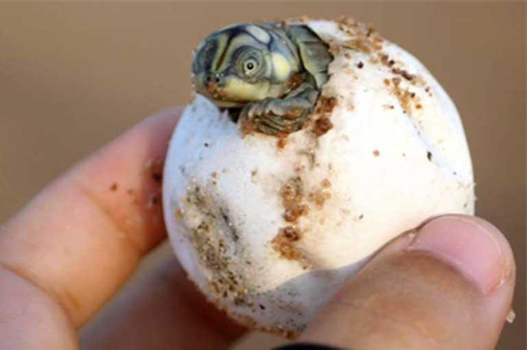 Una cría de tortuga sale de su huevo. Una investigación reciente descubrió que madre y cría utilizan vocalizaciones para comunicarse, aun antes del nacimiento. Foto: Cortesía de Camila Ferrara.