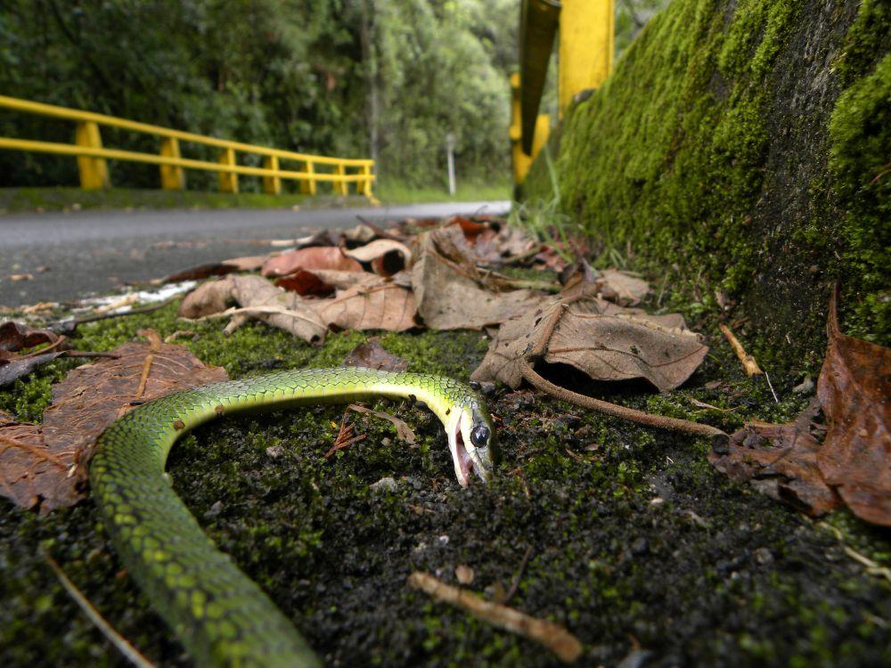 Serpiente Jueteadora (Chironius monticola) en la vía El Escobero en el municipio de Envigado, Antioquia. Foto de Tayra -Transporte, Animales y Registro de Atropellamientos.