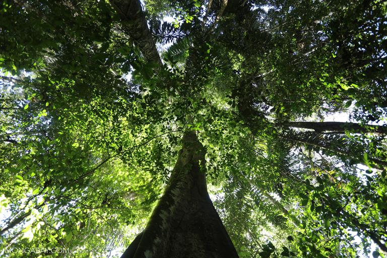 Un ingrediente clave en la comida chatarra es el aceite vegetal. El 60 % del aceite vegetal comestible es producido a partir del aceite de palma y soya, cultivos que actualmente están asociados con la deforestación masiva en el sudeste de Asia y América del Sur, respectivamente. Foto: Rhett A. Butler.