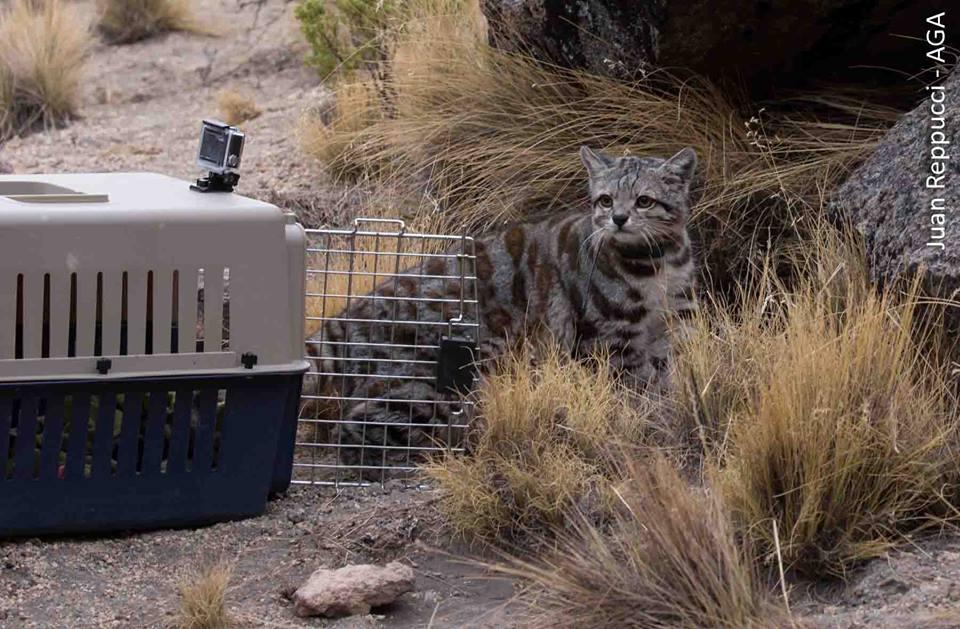 Un funcionario del zoo Vesty Pakos llevó la pequeña jaula donde estaba Jacobo. Foto: Cortesía Sernap.
