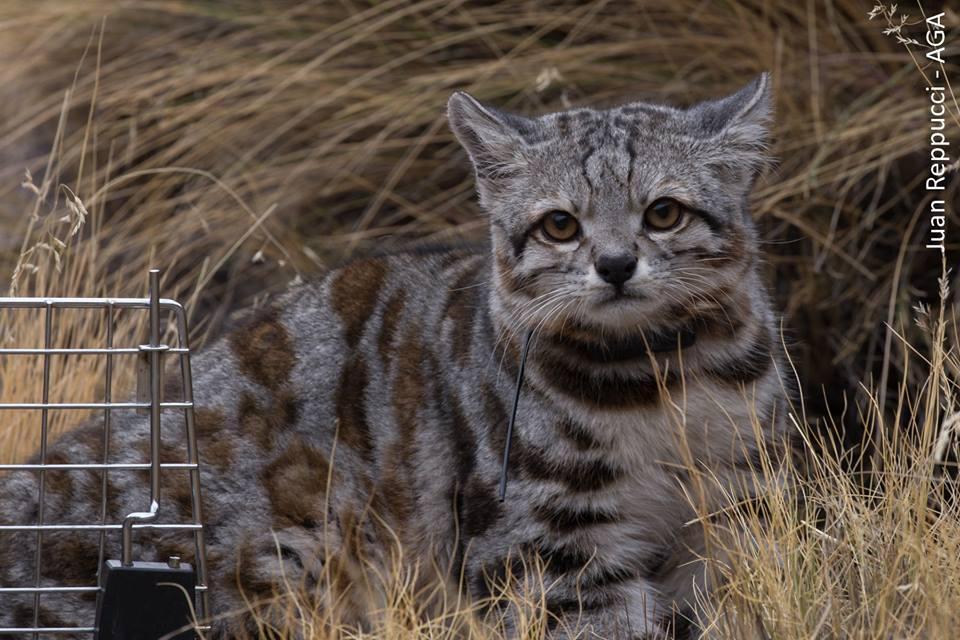 El gato andino (Leopardus jacobita) se encuentra En Peligro de extinción. Foto: Juan Repucci - AGA.