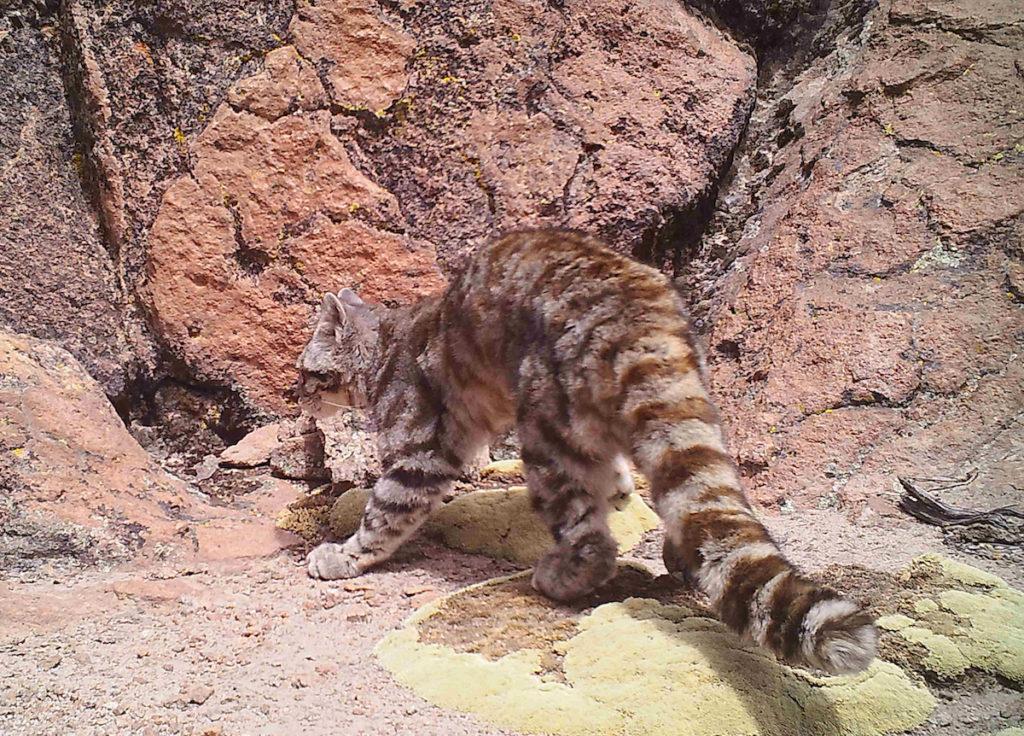 El gato andino es el embajador en el Día de la Fauna Nativa que se celebra en Chile cada 5 de noviembre, país en el que está catalogado en Peligro de Extinción. Foto: Nicolás Lagos - AGA.