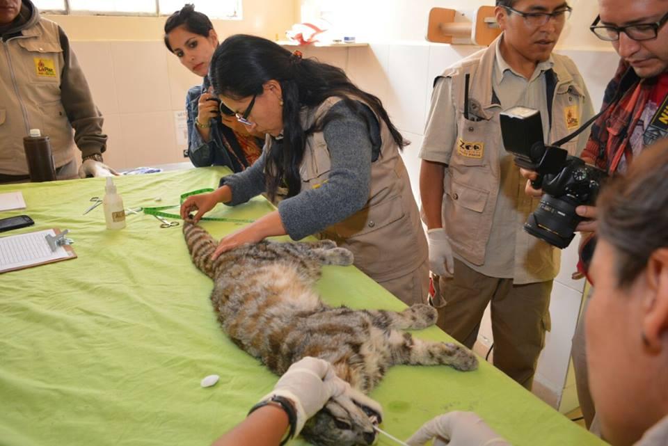 Zoo Vesty Pakos. Era la primera vez que se le encargaba a un zoológico boliviano albergar a una especie en Peligro Crítico como el gato andino. Foto: Cortesía del Zoo Vesty Pakos.