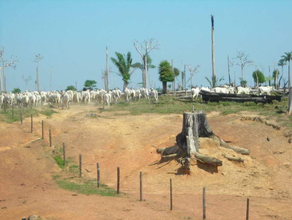 La crianza de ganado avanza de manera alarmante especialmente en los parques naturales de la Orinoquia y Amazonia: Parque Nacional La Macarena, Picachos, Tinigua, entre otros. Foto: Cortesía de la Subdirección de Administración Ambiental, Corpoamazonia.