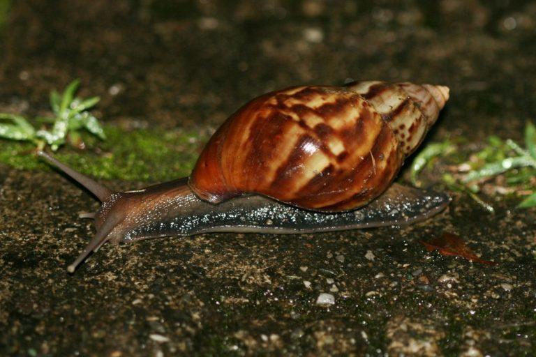 Un ejemplar de caracol gigante africano. Foto referencial de Arthur Chapman / Flickr bajo licencia Creative Commons