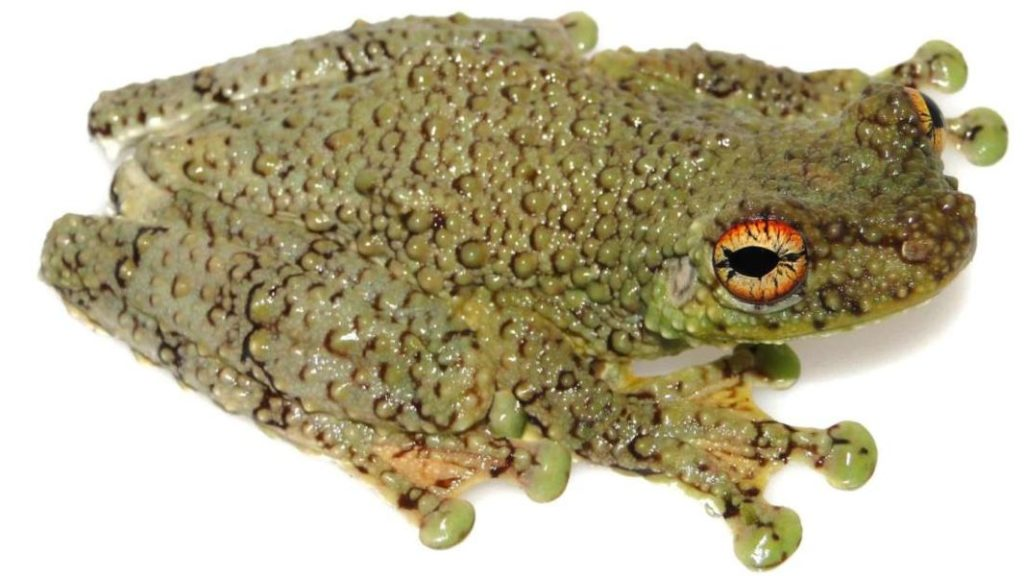 """Los científicos han rastreado las """"canciones"""" de la serpiente shushupe a las llamadas de una especie recién descubierta de rana arbórea: Tepuihyla shushupe. Foto de Pablo Venegas."""
