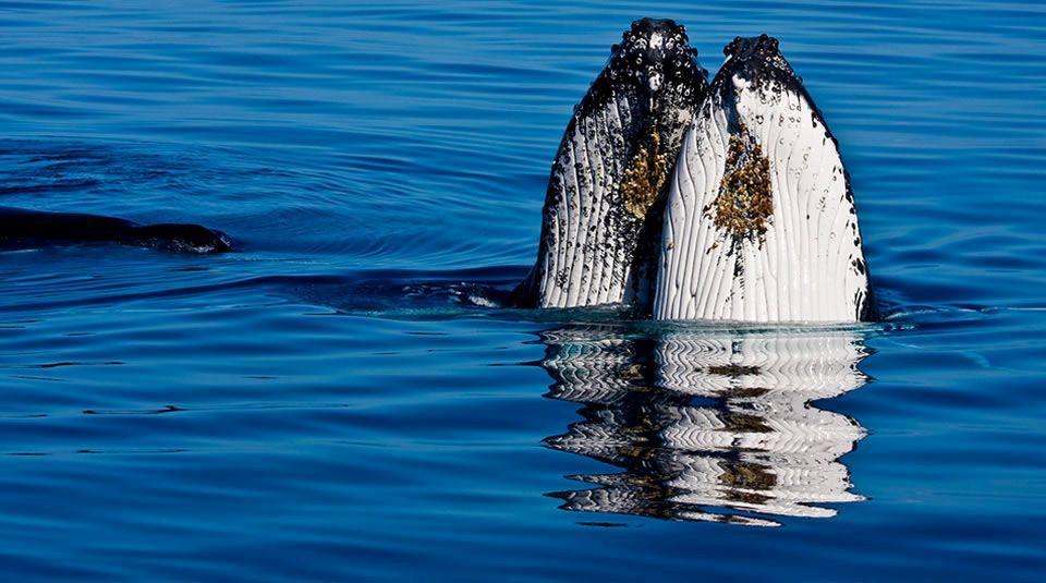 Gorgona es reconocida en el ámbito ecoturístico por el avistamiento de ballenas jorobadas. Foto de Michael Dawes, PNN.