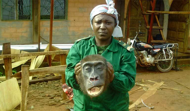 Un guarda del parque en el este de Camerún muestra la cabeza de un gorila incautado de los cazadores furtivos solo horas después de que fuera disparado y desmembrado en la localidad de Lomié. Foto cortesía de LAGA.