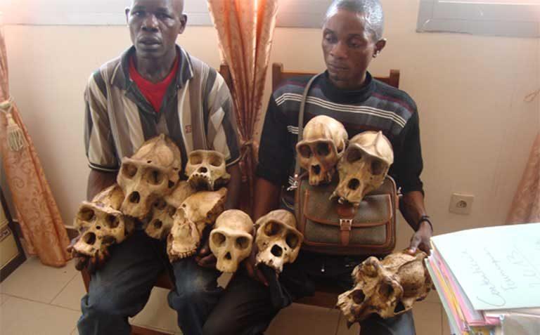 Presuntos traficantes posan con decenas de cráneos de gorila después de la detención de traficantes en Bertua, el este de Camerún. Foto cortesía de LAGA.