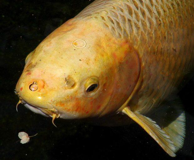 El Koi herpesvirus (KHV) es muy contagioso y puede matar rápidamente a la carpa común (Cyprinus carpio), criada como base alimentaria en muchos países y, de forma selectiva, para la industria de los peces ornamentales. Aunque es una enfermedad de notificación obligatoria de la OIE, la APHIS no tiene ningún requisito sanitario para importaciones que sea específico para el KHV de carpas koi u otros peces con los que se comercia de forma internacional. Foto de Stan Shebs / cortesía de Creative Commons.