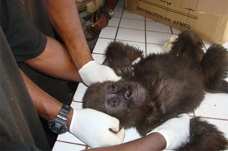 Un bebé gorila rescatado de traficantes en la región centro de Camerún. Foto cortesía de LAGA.